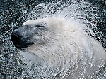 Polar bear has a mane as it shakes itself dry by Henrik Vind