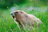 "Olympic Marmot (Marmota olympus) in alpine area of Olympic Mountains, Olympic National Park, Washington.  Summer.  It is often said that marmots ""whistle"" their warning call, but it is really more of a shrill shriek (sound made with the vocal cords)."