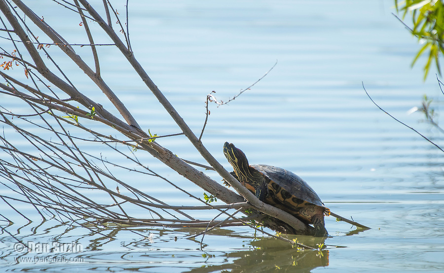 Red-eared Slider, Trachemys scripta elegans, basks on a partially submerged branch at the Riparian Preserve at Water Ranch, Gilbert, Arizona