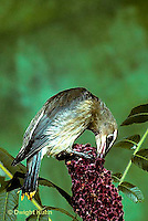 WX01-004x  Cedar Waxwing - immature eating Shaghorn Sumac - Bombycilla cedrorum