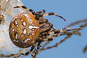 Four-spot Orb Weaver Spider female (Araneus quadratus). Surrey, UK. October.