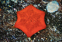 Sea star, Patriella brevispina, Edithburgh, South Australia, Southern Ocean