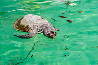 a floating, dead, hawksbill sea turtle, Eretmochelys imbricata, with a plastic six-pack ring around its neck amongst other garbage, Sipidan Island, Malaysia, Indo-Pacific Ocean