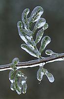 Huisache, Acacia farnesiana, leaf after ice rain, San Antonio, Texas, USA