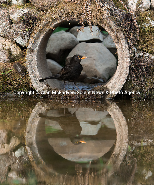 Pictured: A blackbird peeks out of the tunnel<br /> <br /> A series of animals are perfectly reflected in a pool of water as they peek their heads out of a tunnel.<br />    The array of wildlife - from a red squirrel to a badger - seek refuge from the hot weather in the drainage pipe.<br />  <br /> Visitors to the 18-inch wide tunnel and the surrounding small pool include a blackbird, a great spotted woodpecker, an otter and a family of blue tits.    Photographer Alan McFadyen pictured the animals near his home in Kirkcudbright, Scotland.   SEE OUR COPY FOR DETAILS<br /> <br /> Please byline: Alan McFadyen/Solent News<br /> <br /> © Alan McFadyen/Solent News & Photo Agency<br /> UK +44 (0) 2380 458800
