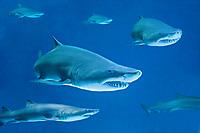 Sand Tiger Shark composite