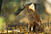Red fox, Katmai National Park, Alaska