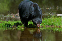 Wild adult Black Bear (Ursus americanus) boar drinking from small pond.  Western U.S., spring.