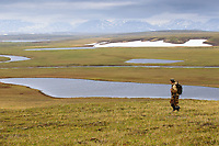 field biologist Egor Loktionov searching for Spoon-billed Sandpiper nests in coastal moraine hills during the species quiet incubation period. The species only breeds on a narrow coastal strip where the vegetation is appropriate (due to coastal weather) and feeding areas are close by (spits and coastal lagoons). Though their historical range covered a long coastline from Northern Chukotka  to Kamchatka, their distribution is very spotty because of these specific habitat needs. Chukotka, Russia. July.