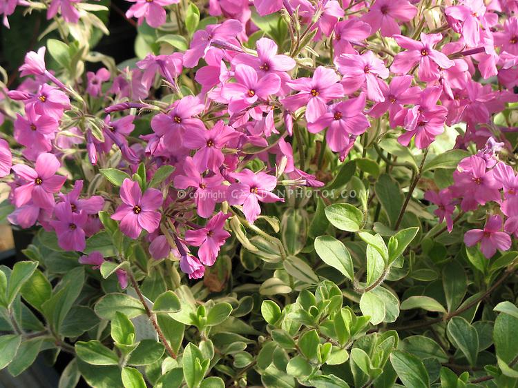 Phlox stolonifera Variegated, fragrant spring flowering plant