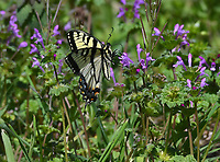 IN FOR A LANDING<br />A butterfly rests on wildflowers in early April at the Flint Creek Power Plant Eagle Watch Nature Trail one mile west of Gentry.<br />(Courtesy photo/Terry Stanfill)