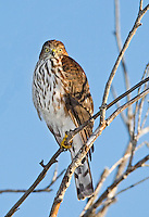 Sharp-shinned hawk perched in tree