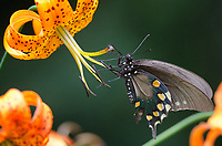 Michael McCollum<br /> 8/1/17<br /> 'Astyanax' Red-spotted Purple Limenitis arthemis astyanax, on a <br /> Turk's Cap Lily near the<br /> Great Smoky Mountain Parkway, North Carolina.