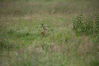 Feldhase, Feld-Hase, Hase, Hasen, Grünland, Grünlandfläche, Lepus europaeus, European hare, brown hare, hare, hares, Le Lièvre d'Europe, Lièvre brun