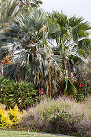 Brahea armata (Mexican Blue Palm) in Southern California demonstration garden by Western Municipal Water District, Riverside California