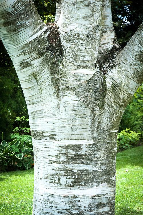 White-barked Himalayan birch (Betula utilis var. Jacquemontii).