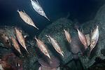 snipefish school on deep boulder reef