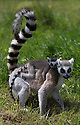 """16/05/16<br /> <br /> """"I'm not going to let go. No way.""""<br /> <br /> Three baby ring-tail lemurs began climbing lessons for the first time today. The four-week-old babies, born days apart from one another, were reluctant to leave their mothers' backs to start with but after encouragement from their doting parents they were soon scaling rocks and trees in their enclosure. One of the youngsters even swung from a branch one-handed, at Peak Wildlife Park in the Staffordshire Peak District. The lesson was brief and the adorable babies soon returned to their mums for snacks and cuddles in the sunshine.<br /> All Rights Reserved F Stop Press Ltd +44 (0)1335 418365"""