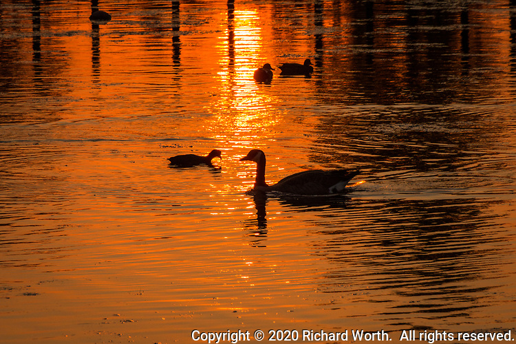 The smoke-filtered sun casts a warm orange glow on a neighborhood park's pond and its waterfowl including a Canada goose and American coot.