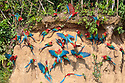Red-and-Green Macaws (Ara chloropterus), feeding at the wall of a riverside clay lick. Blanquillo Clay Lick, Manu Biosphere Reserve, Peru. November.