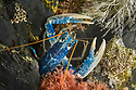 European / Common Lobster (Homarus gammarus) in rocky retreat. Controlled conditions, Cornwall, UK. May.