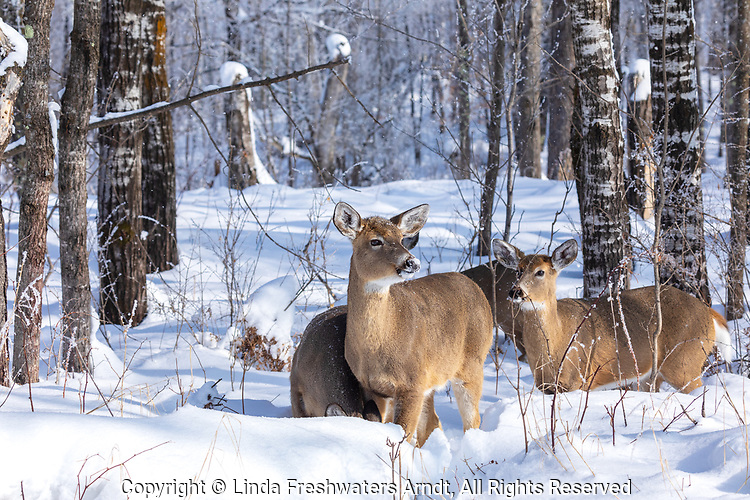 White-tailed deer in the winter forest of northern Wisconsin.