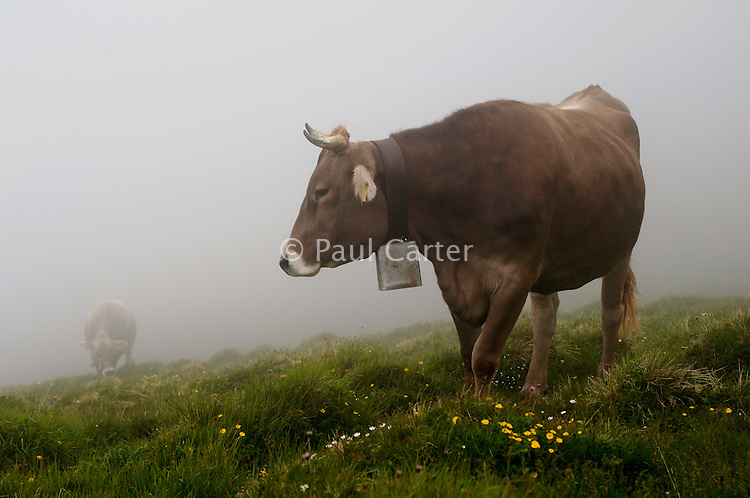 Heifer grazing on the highest part of the mountain on a misty morning.  Cowherd spends 100 days in the summer, high up in the mountains, tending cows and pigs and making cheese at Balisalp and Käserstatt near Meiringen, Switzerland.