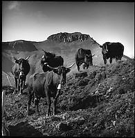 Europe/France/Auvergne/15/Cantal/Massif du Puy Mary Au buron du Col de Rombière -Parc Naturel Régional des Volcans d'Auvergne-les vaches Salers de Daniel Reygade buronnier