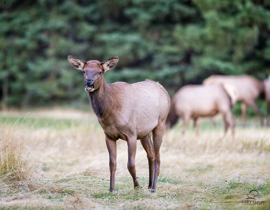 Young Elk (Cervus canadensis) on the move just outside the town of Banff, Banff National Park, Alberta, Canada.