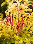 Golden Hardy Fuchsia, Fuchsia magellanica aurea