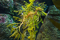 Leafy sea dragon (Phycodurus eques).  Aquarium.