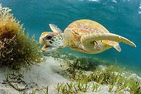 Green Turtle, Chelonia mydas, Lord Howe Island, Australia, Pacific Ocean