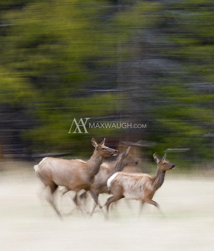 Elk run through a meadow.