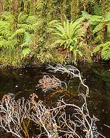 Native ferns in rainforest in Copland Valley, Westland National Park, West Coast, South Westland, World Heritage Area, New Zealand