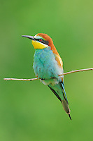 European Bee-eater (Merops apiaster),adult perched, Hungary, Europe