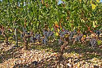 A vine with ripe Merlot grape bunches - Chateau Belgrave, Haut-Medoc, Grand Crus Classe 1855