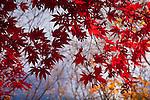 Japanese maples in the Arnold Arboretum, Boston, MA