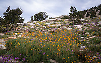 Raillardella scarposa, blue penstemon, and monkeyflowers - Mount Hoffman - Yosemie National Park