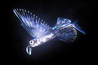 flying fish 7 inches, Exocoetidae, Kona, Big Island, Hawaii, USA, Pacific Ocean