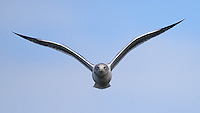An unidentified gull flies over Vancouver Island.