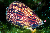 Cone shell, Conus dalli, Cocos Island, Costa Rica, Pacific Ocean