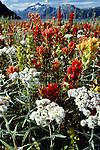 Wildflowers, Glacier Bay National Park and Preserve, Alaska