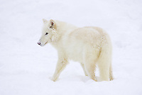 Arctic Wolf standing in the snow - CA