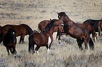 Wild Horse Fight, McCullough Peaks Range, Cody, Wyoming