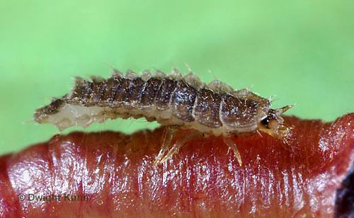 1C24-645z  Firefly Larva eating worm prey - Lightning Bug Larva  - one day old - Photuris spp.