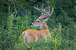 Whitetail buck in summer velvet in Montana