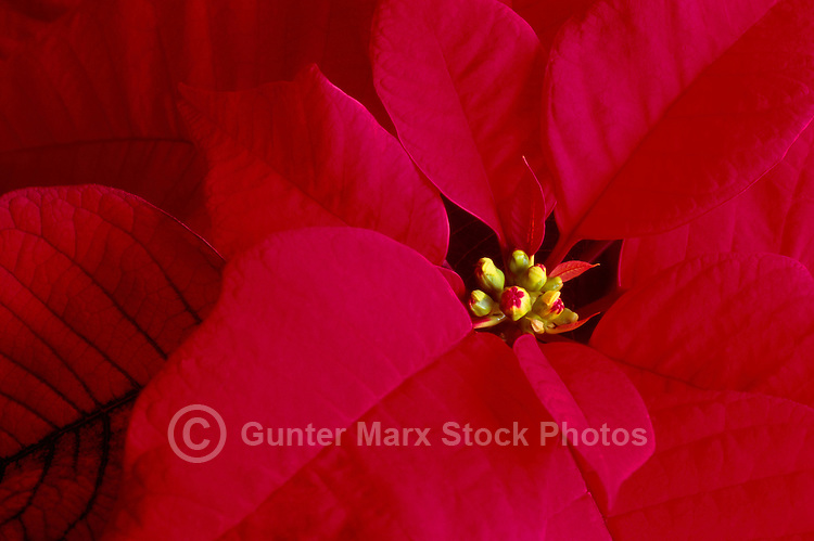Red Poinsettia (Euphorbia pulcherrima), the Traditional Christmas Flower