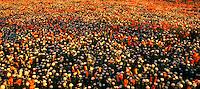 906500003 panoramic of Field of Flowers California Poppies Eschscholtzia californica and Desert Dandelion Malacothrix glabrata Lancaster Poppy Preserve, Antelope Valley, California.