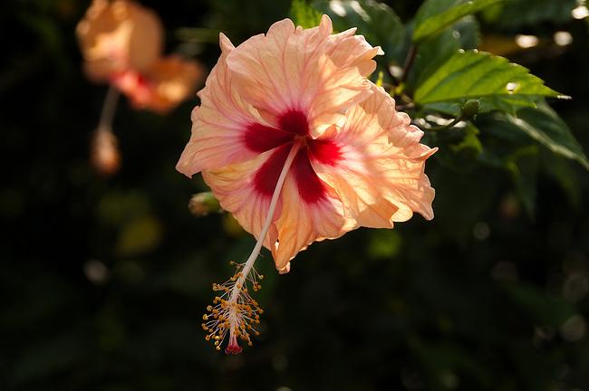 Hibiscus, Togo varietal
