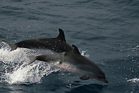 Tumor, Atlantic spotted dolphins, Stenella frontalis, Azores Islands, Portugal, North Atlantic